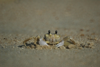 ghost crab image